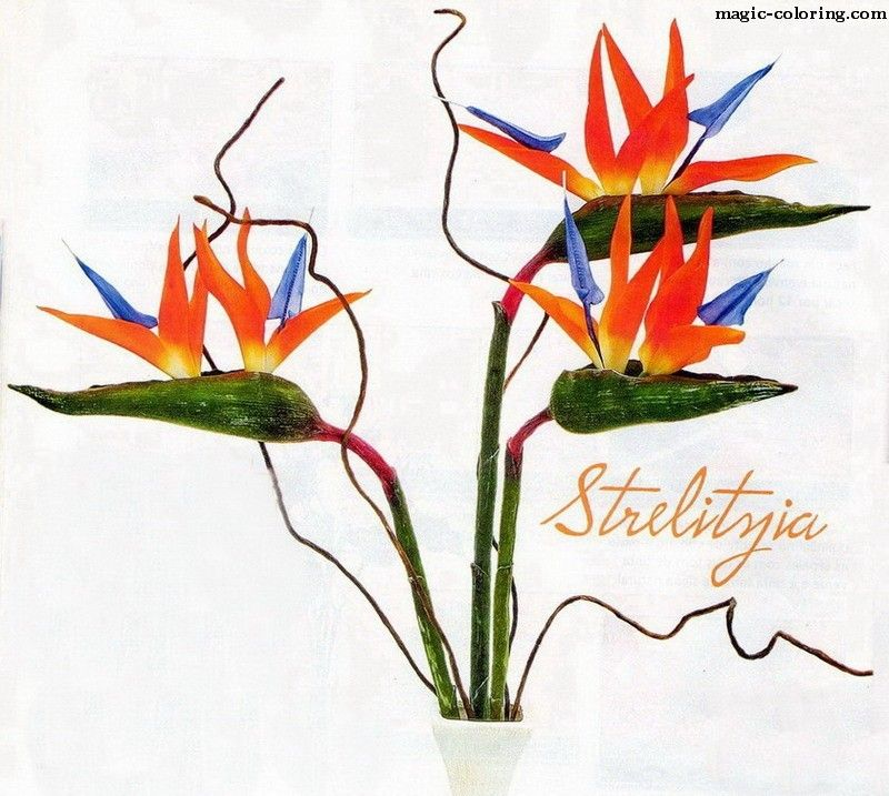 MAGIC-COLORING | Strelitzia flower template