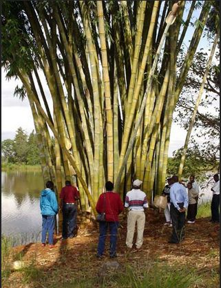 Bamboo farming in Kenya     Spectacular Places & Renewable Spaces