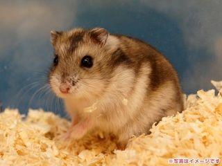 小動物 の検索結果 Yahoo 検索 画像 Hamster Dwarf Hamster Animals