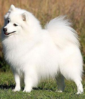 Japanese Spitz Price Temperament Life Span Spitz Dogs