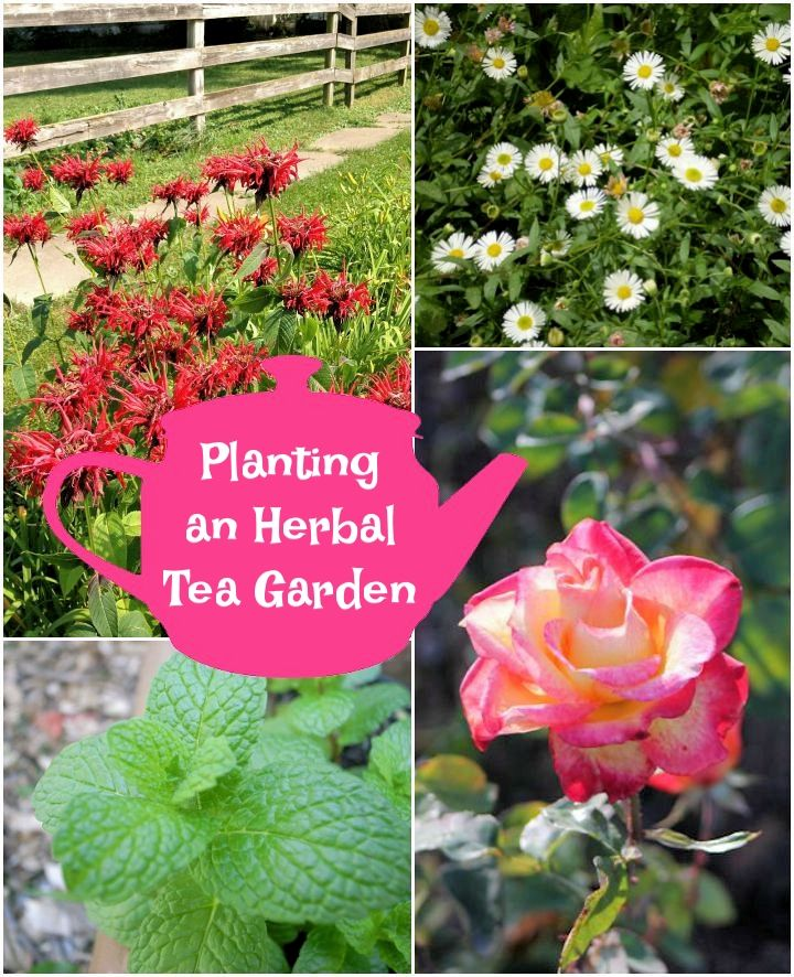Planting An Herbal Tea Garden Herbalism Growing Tea Plants