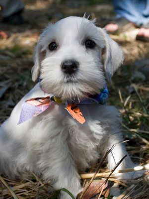 Just 43 Pictures Of Sweet And Fluffy Small Dog Breeds You Ll Want To Snuggle Right Away Schnauzer Puppy Dog Breeds Miniature Schnauzer Puppies