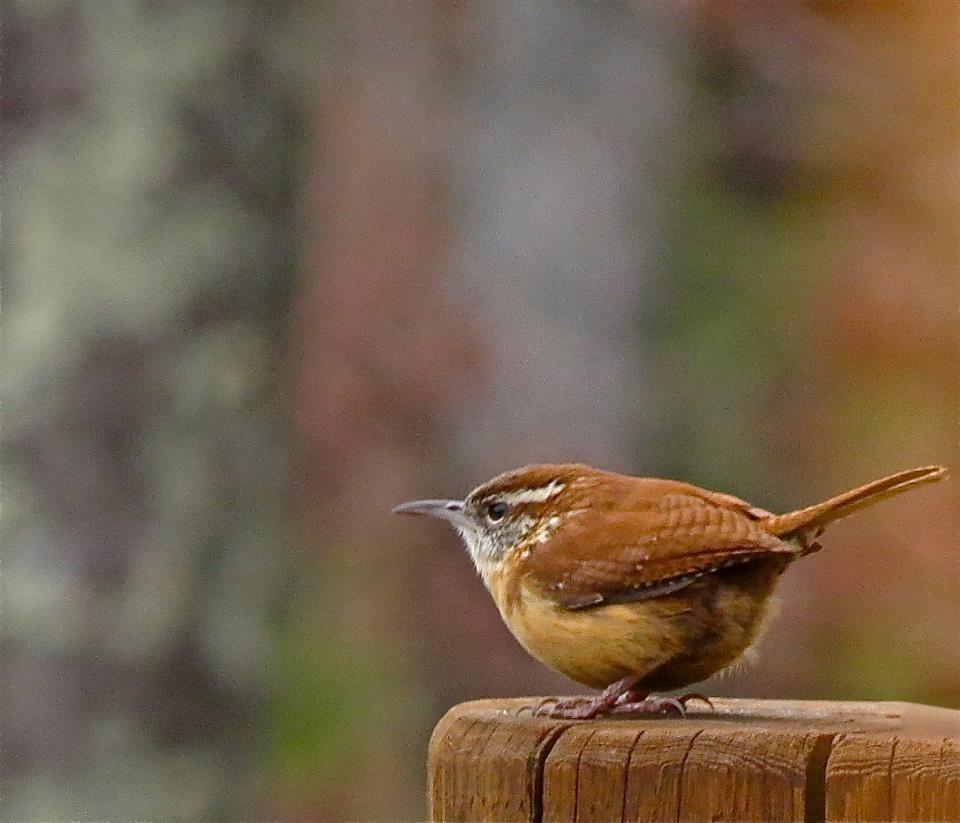 Little Round Wren My Mum S Favourite Bird Birds Backyard