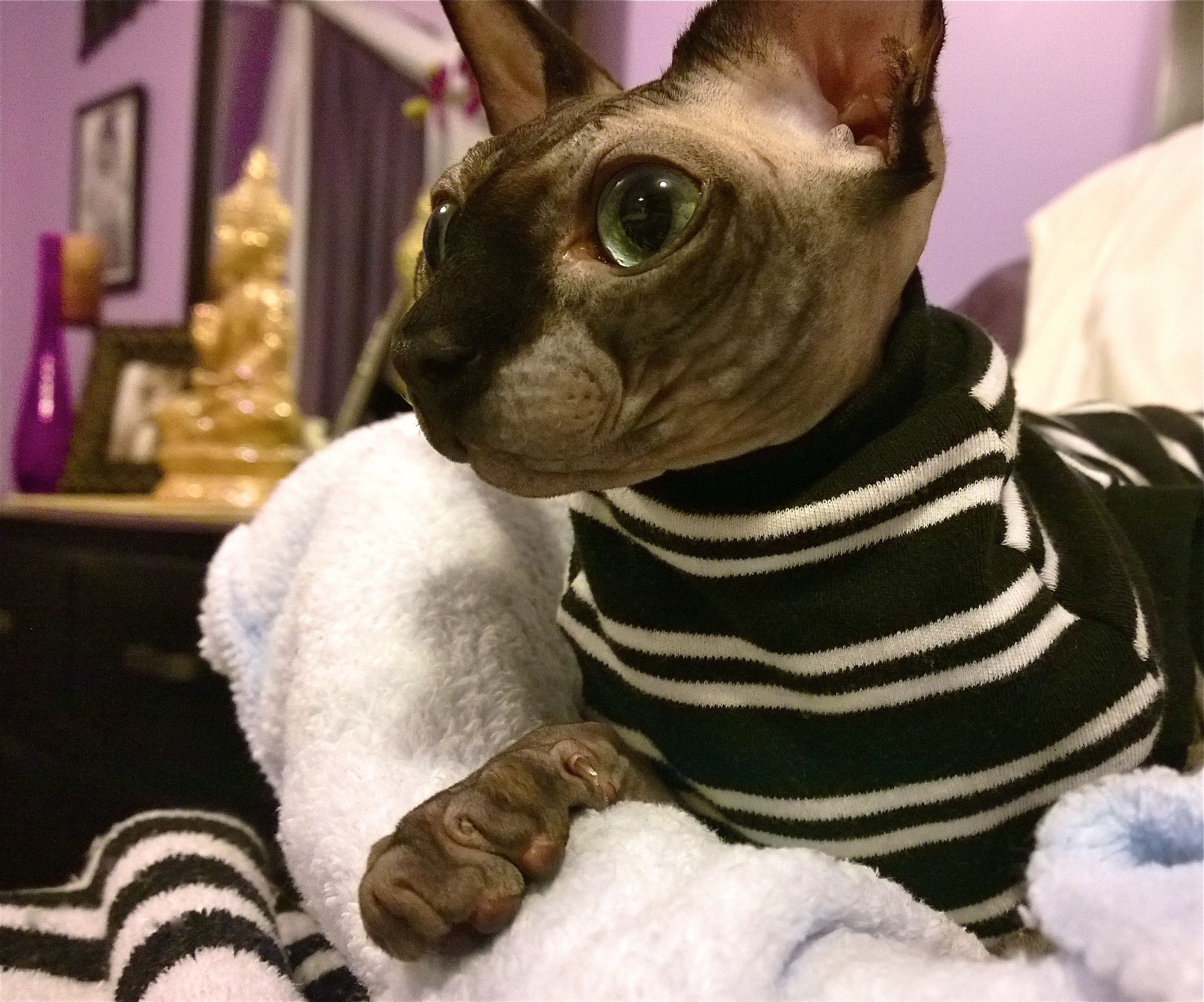 Mason Star Https Www Facebook Com Poshpunksphynxline Ref Hl Sphinx Cat Dog Pictures Sphynx