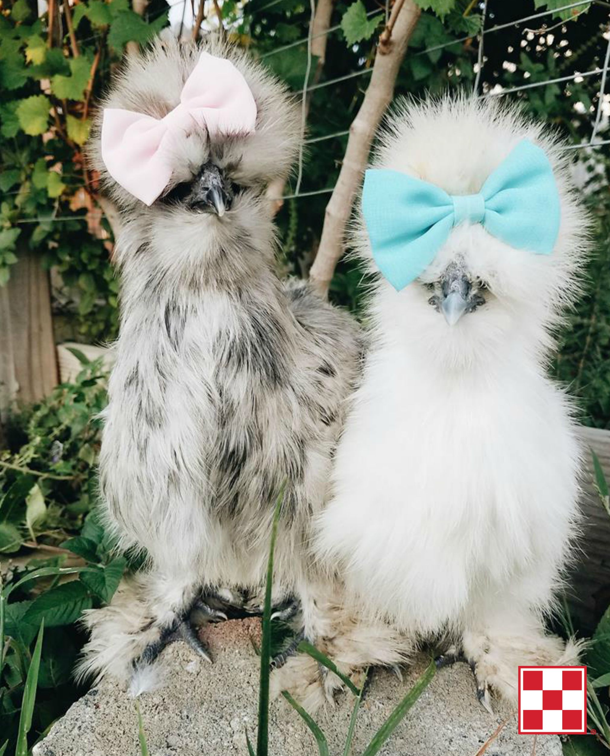 Just To Make You Smile Two Fashionable Silkies Photo By Purina Poultry Facebook Fan Katie G Cute Chickens Pet Chickens Fancy Chickens