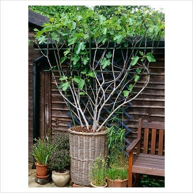 Espalier Trained Ficus Brown Turkey Fig Tree In Willow Basket Container