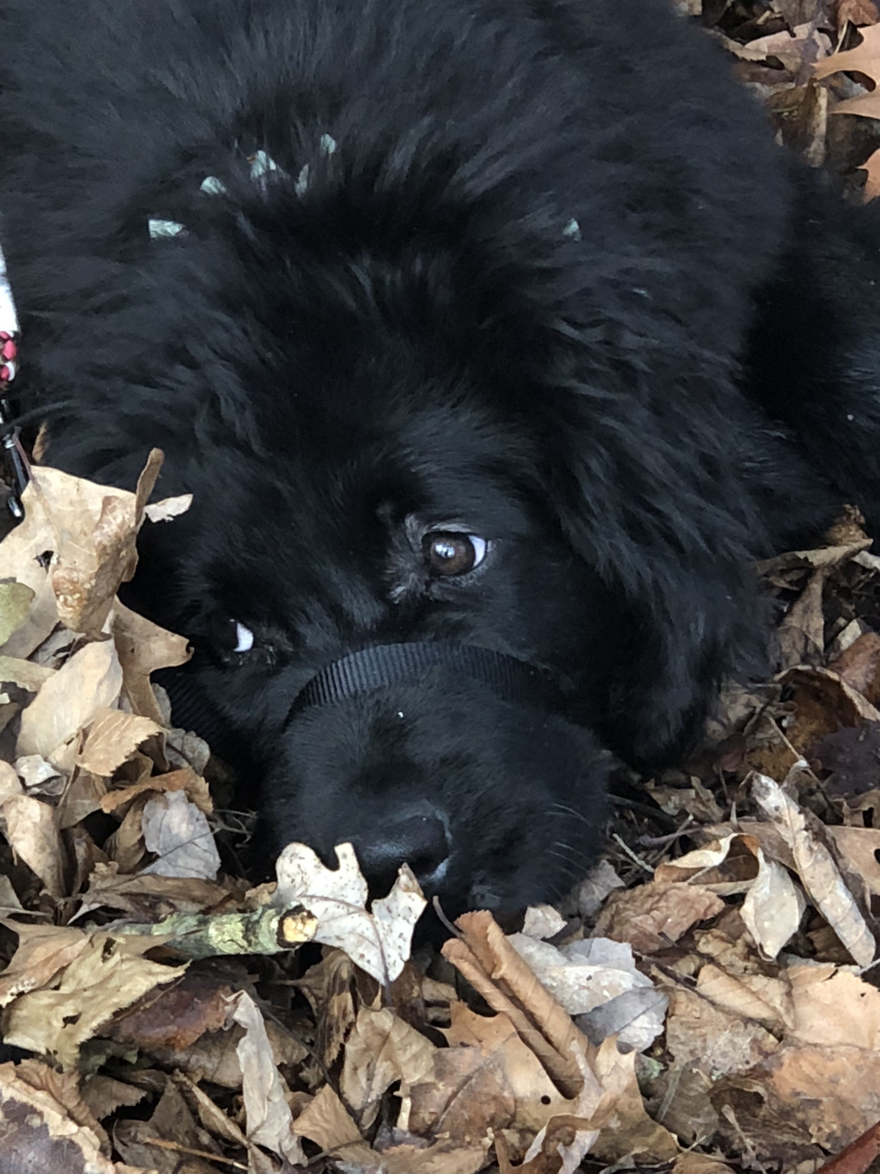 Newfoundland puppy peeing, naked girls eating pissy out