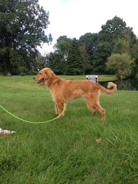 Found Dog Golden Retriever In Columbus Oh Pet Name Unknown Id
