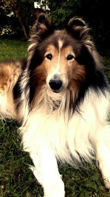 Gorgeous Sable Rough Coat Collie 3 Rough Collie Big Dogs Collie