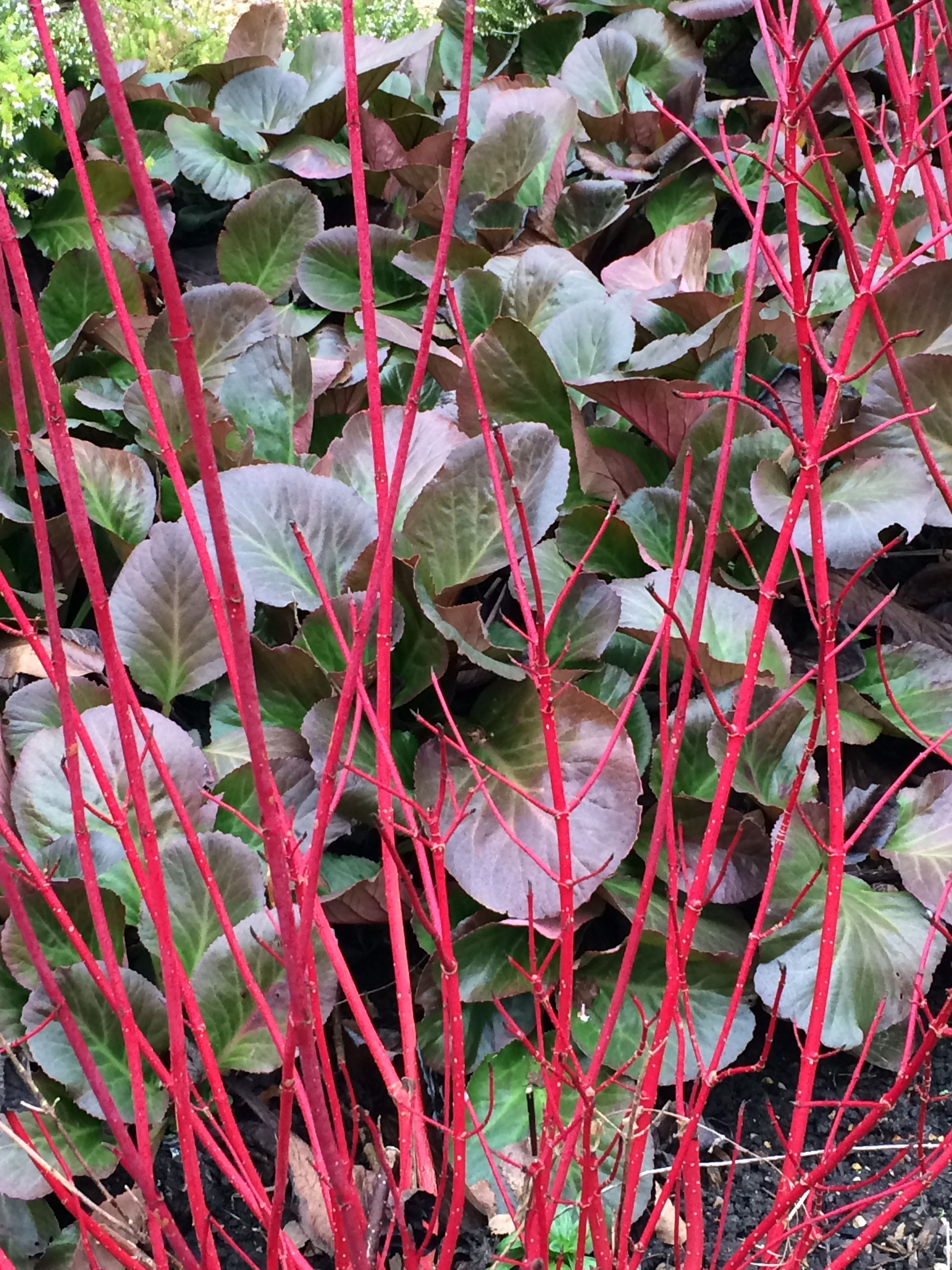 Remarkable Cornus Alba Sibirica  Bergenia Bressingham Ruby At Cambridge  With Remarkable Cornus Alba Sibirica  Bergenia Bressingham Ruby At Cambridge Botanic Garden With Comely Garden Waste Bin Also Gardening Raised Beds In Addition Gardening Landscaping And Making Fairy Garden Furniture As Well As No Tangle Garden Hose Additionally Cheap Large Garden Sheds From Pinterestcom With   Remarkable Cornus Alba Sibirica  Bergenia Bressingham Ruby At Cambridge  With Comely Cornus Alba Sibirica  Bergenia Bressingham Ruby At Cambridge Botanic Garden And Remarkable Garden Waste Bin Also Gardening Raised Beds In Addition Gardening Landscaping From Pinterestcom