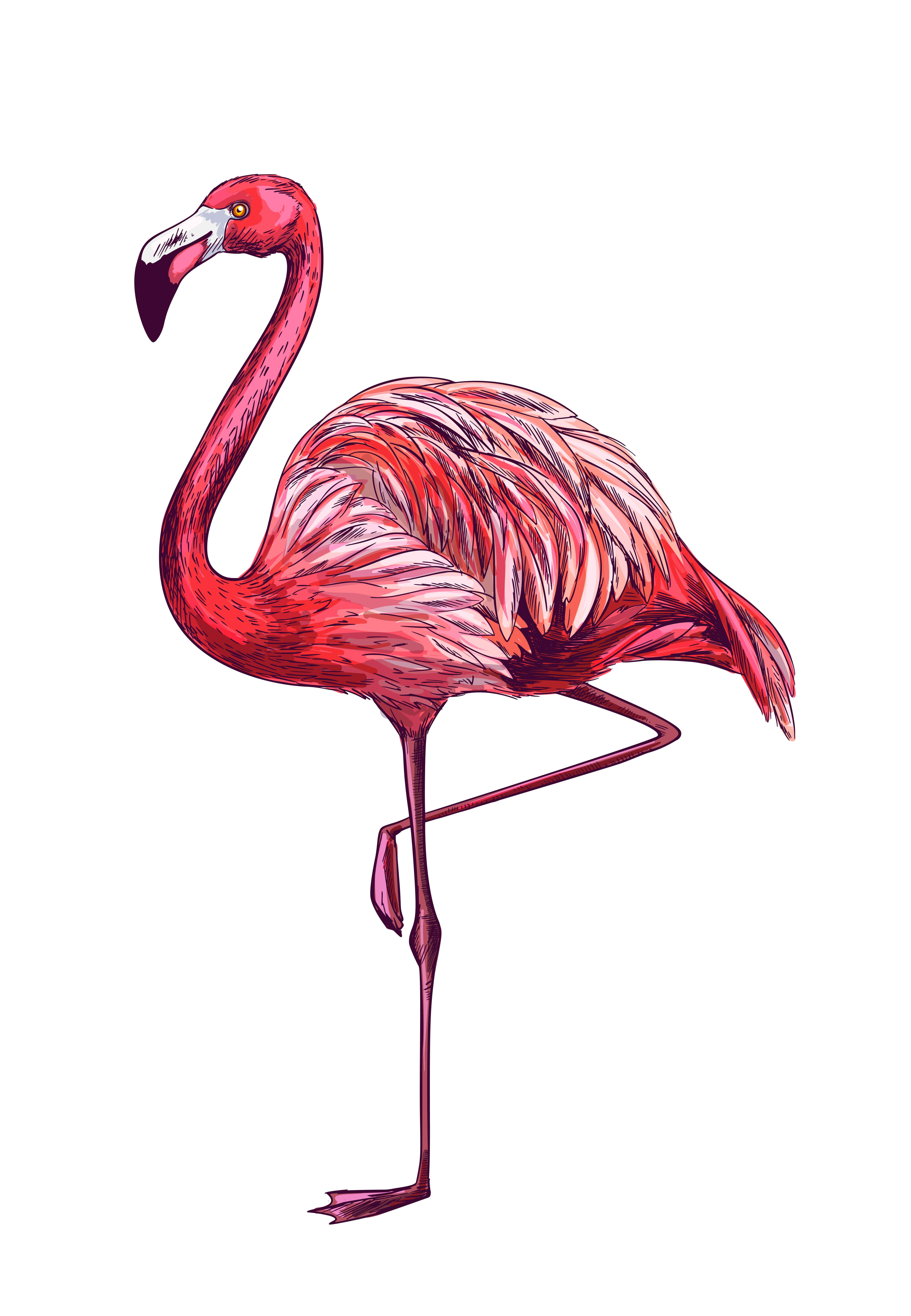 standing flamingo on white bg, full color sketch, hand drawn vector  illustratio…   flamingos art illustration, hand drawn vector illustrations,  how to draw flamingo  pinterest