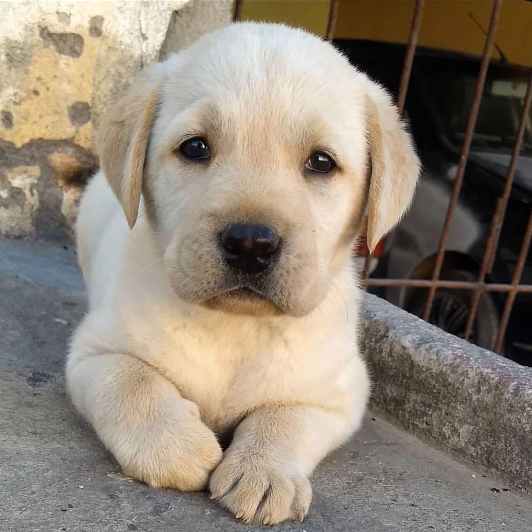 Yellow Labrador Puppy If You Love Labradors Visit Our Blog Labrador Labradorretriever Labradorcentral Retriever Puppy Labrador Retriever Puppies Puppies