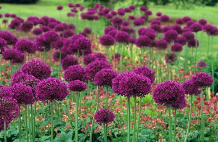 allium hollandicum purple sensation pretty fly. Black Bedroom Furniture Sets. Home Design Ideas
