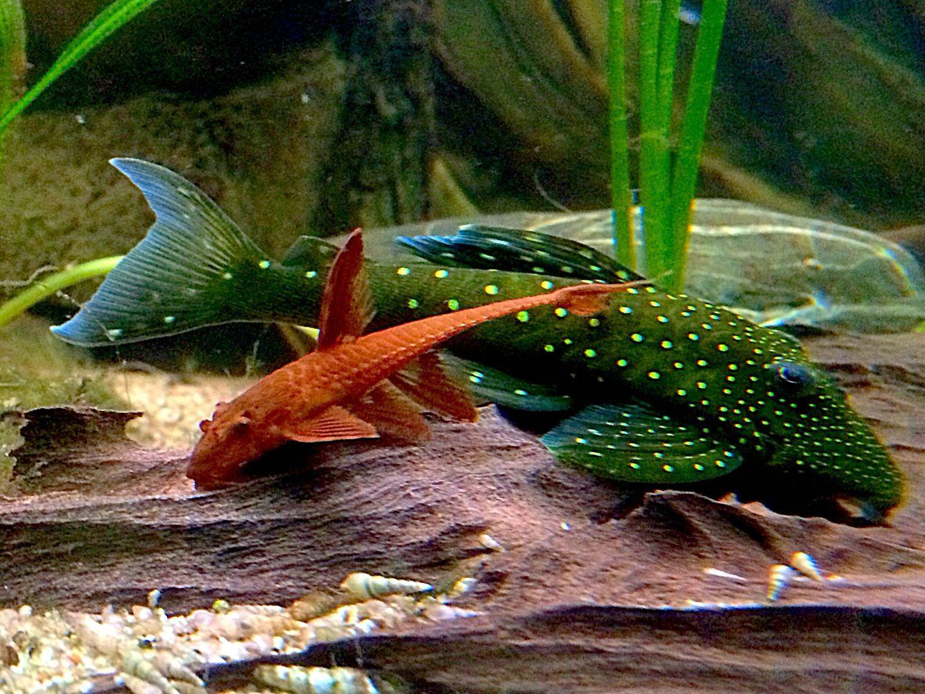 Freshwater aquarium fish capacity - Freshwater Aquariumaquarium Fishcatfishfresh Water Farlowella Acus L10a L 128