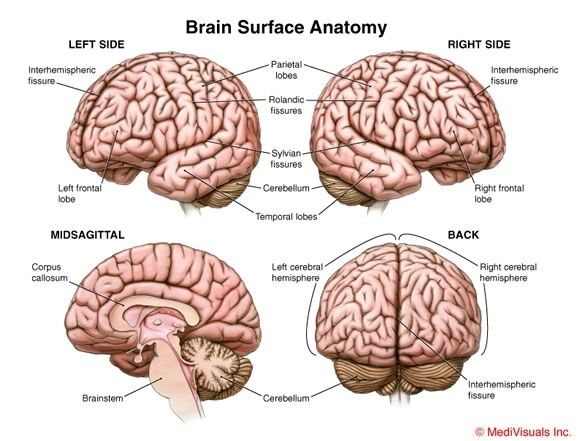 Brain Surface Anatomy Neurology Pinterest Anatomy And Brain