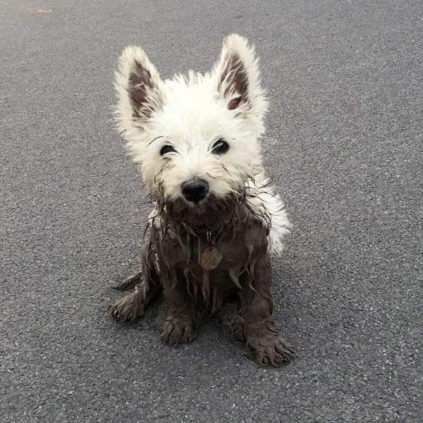 west highland terrier puppies westies cuki pinterest westie