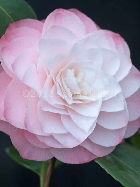 White Camellia Japonica Camellia Japonica Formal Doubles Beautiful Flowers Pretty Flowers Pink Plant