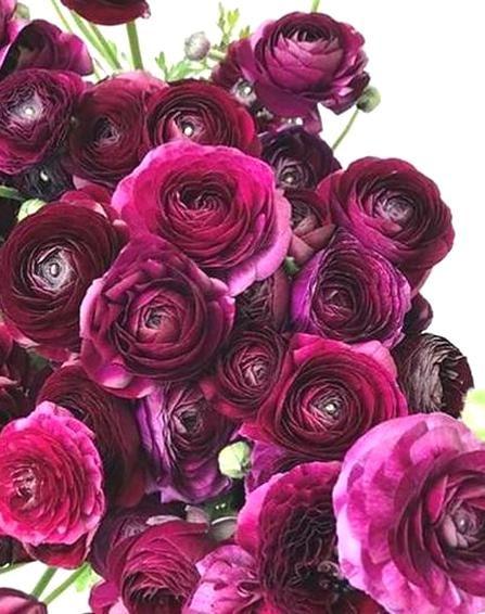 Italian Ranunculus Elegance Viola Buy Online At Farmer Gracy Uk In 2020 Ranunculus Flowers Red Petals
