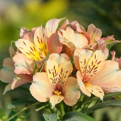 Spring Hill Nurseries 2 In Pot Pink And Yellow Flowers Inca Ice Peruvian Lily Alstroemeria Live Potted Pere In 2020 Peruvian Lilies Spring Hill Nursery Alstroemeria