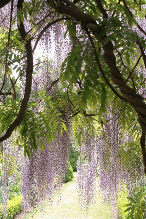 Ewa in the Garden: wisteria