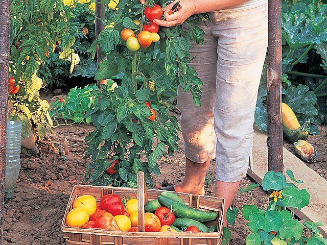 La culture de la tomate avec la lune en 2020 Cultiver
