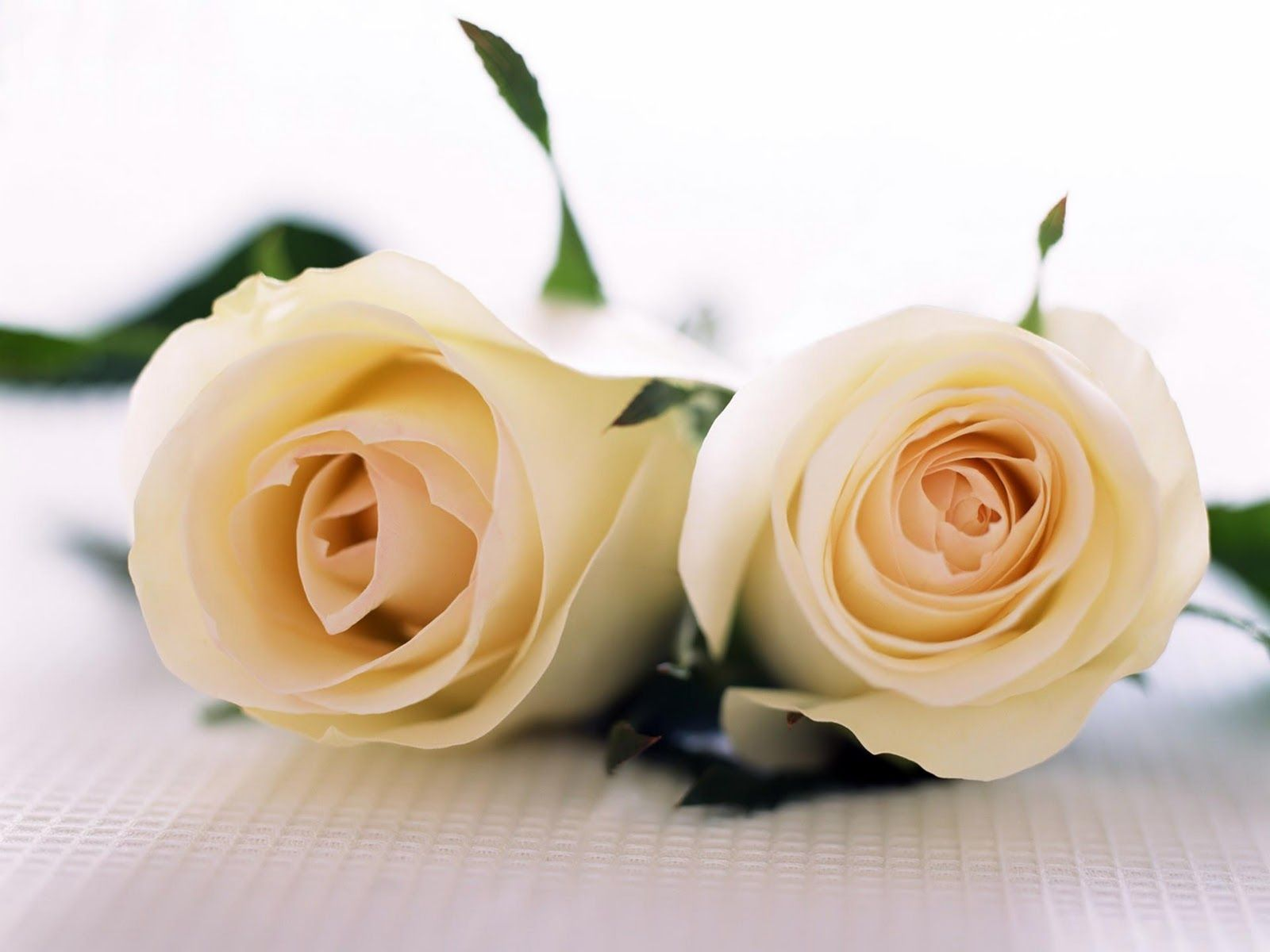 White Rose Wallpapers HD Find Best Latest In For Your