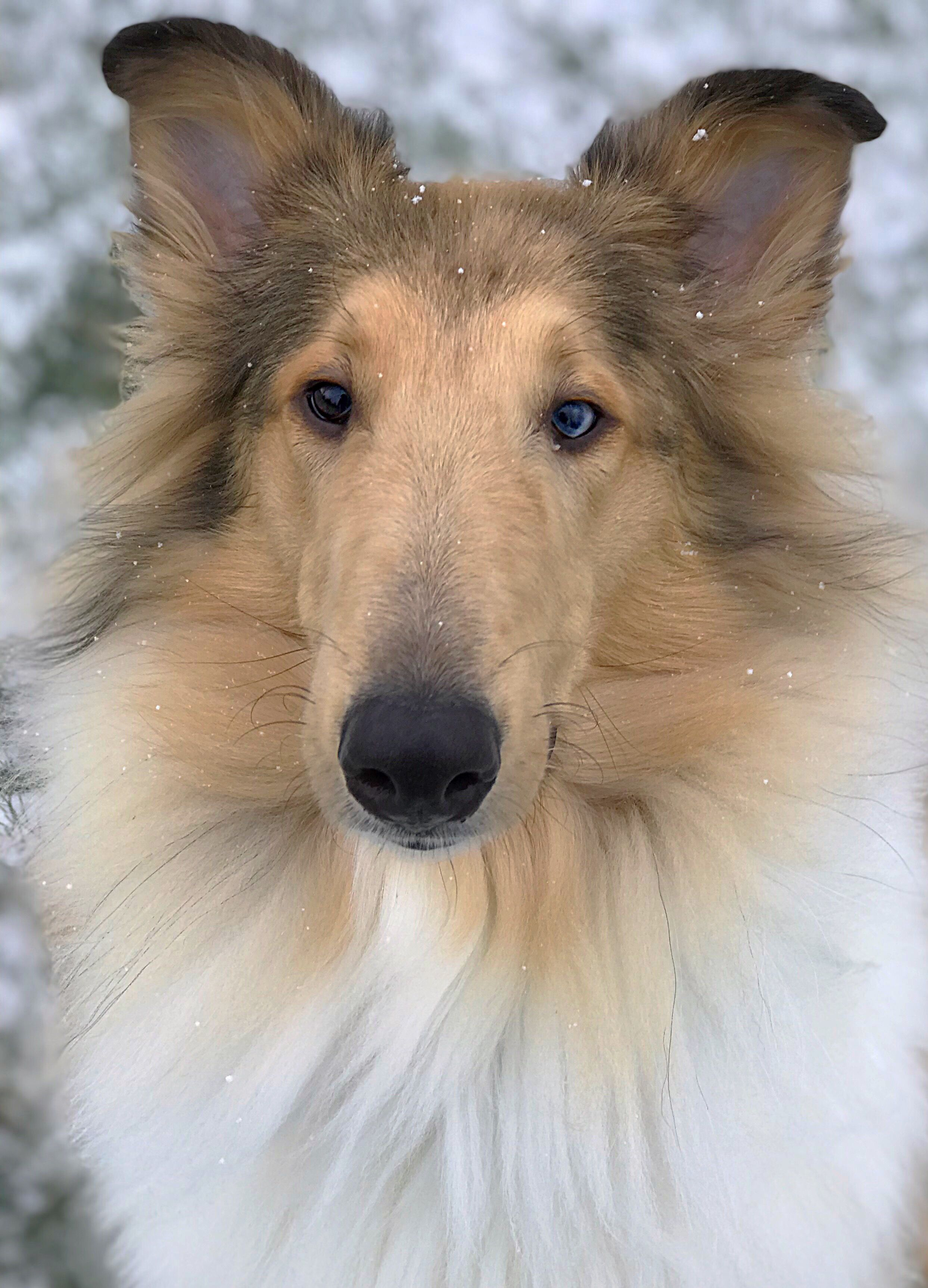 Winnie 1 Year Old Sable Merle Rough Collie With Images Rough