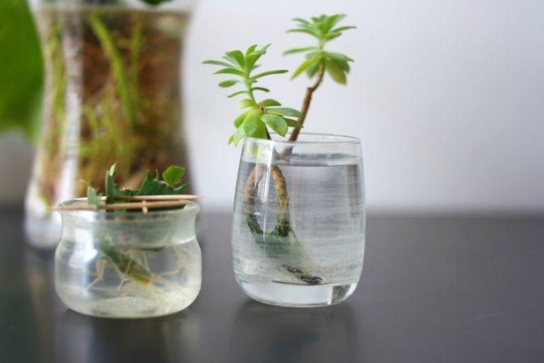 Bouturer Des Tiges De Plantes Grasses Avec Images Boutures