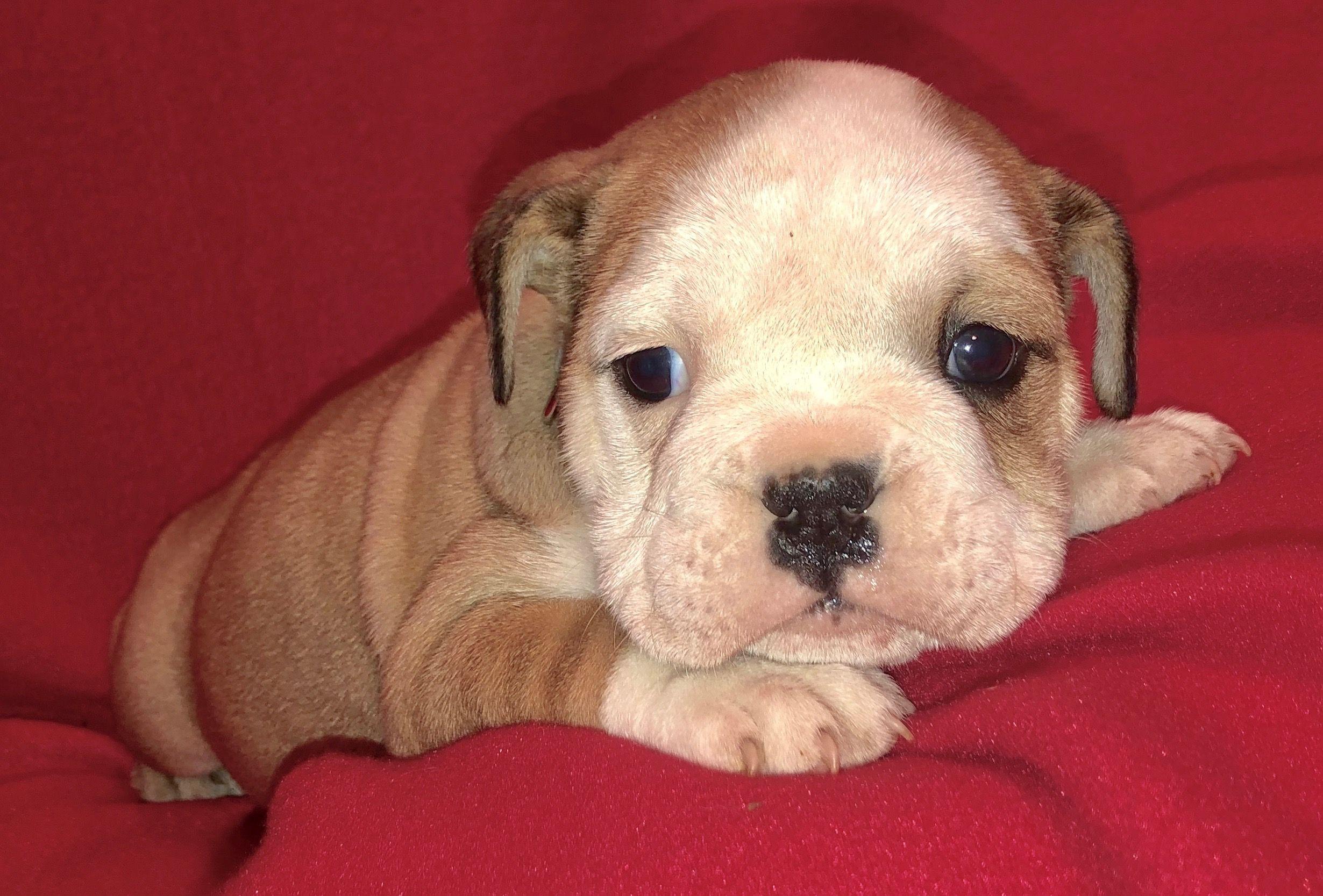 Nala Fawn English Female 2700 Bulldog Puppies Cute Baby