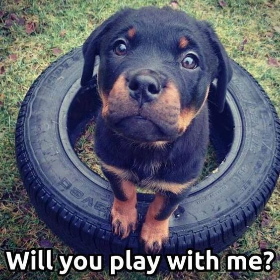 Puppy Rottweiler Meme The One And Only Rottie Dogs Rottweiler