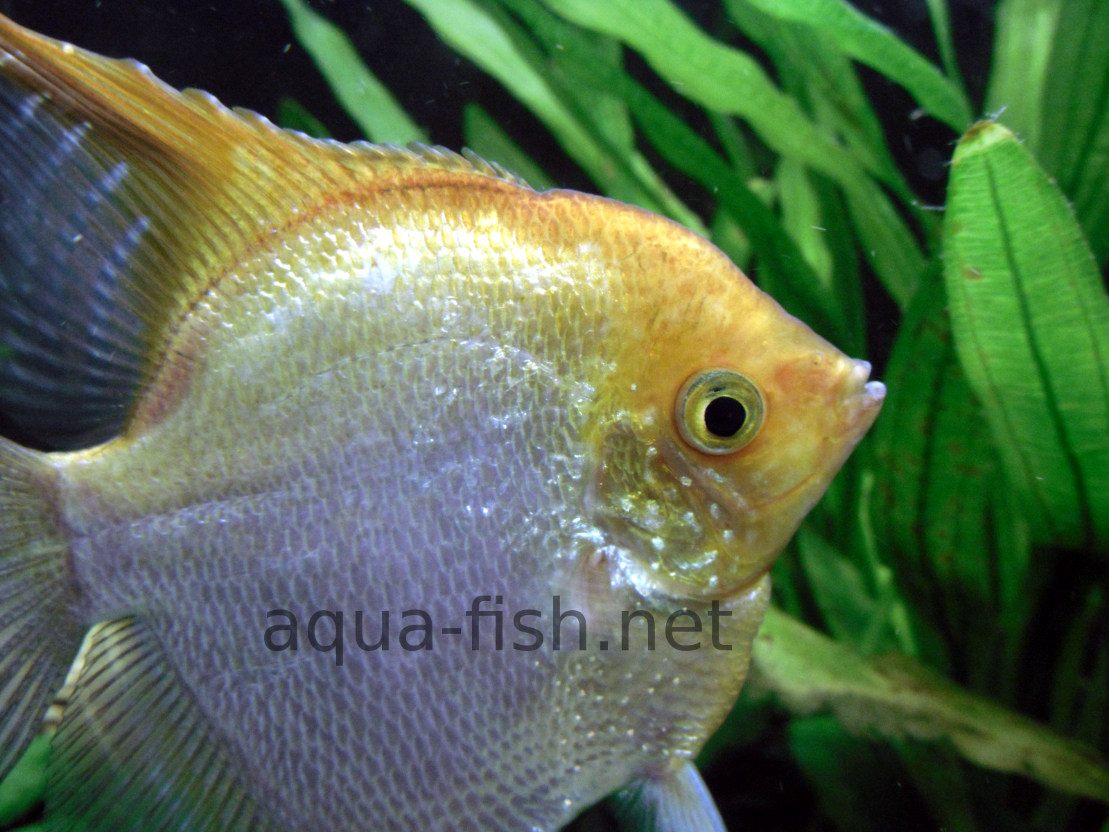 Freshwater aquarium fish silver with red fins - A Guide To Keeping And Breeding Freshwater Angelfish Which Includes Instructions On Aquarium Set Up Diseases Prevention And Pictures With Forums