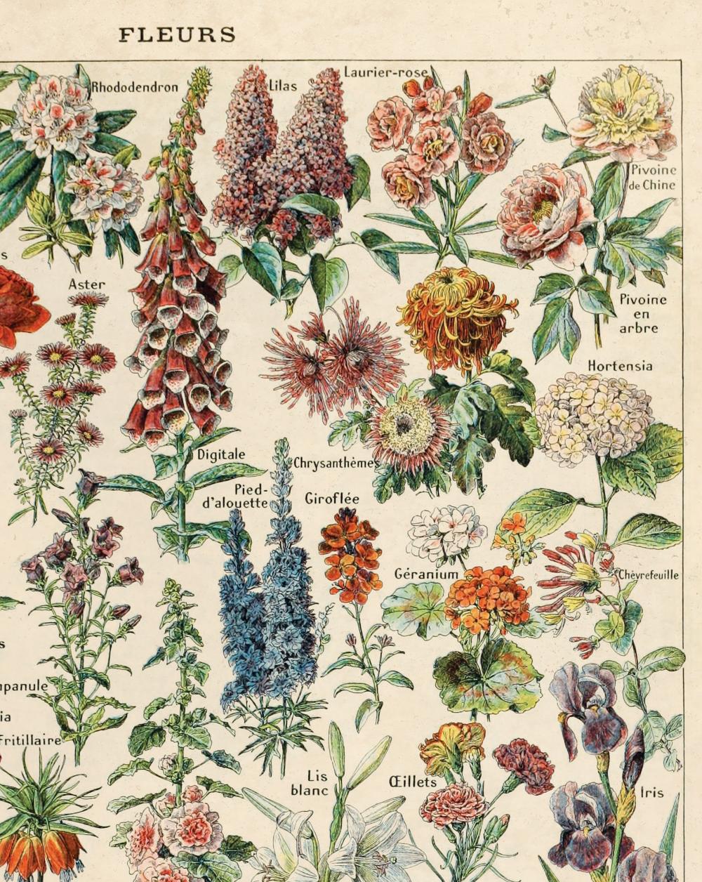Vintage French Garden Flower Canvas Hanging Chart Fleurs Le Petit Larousse By Millot Educational In 2020 Botanical Drawings Vintage Flower Prints Flower Aesthetic