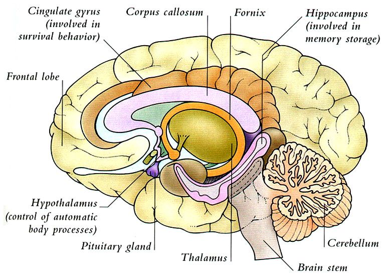corona radiata - Google leit | Brain and SLP | Pinterest | Anatomy ...