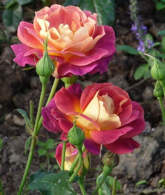 Rosa 'Prieuré de St Cosme' (France, 2008):