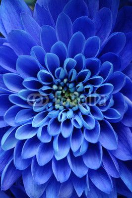 Gallery Direct Blue Aster Oversized Gallery Wrapped Canvas by Gallery Direct