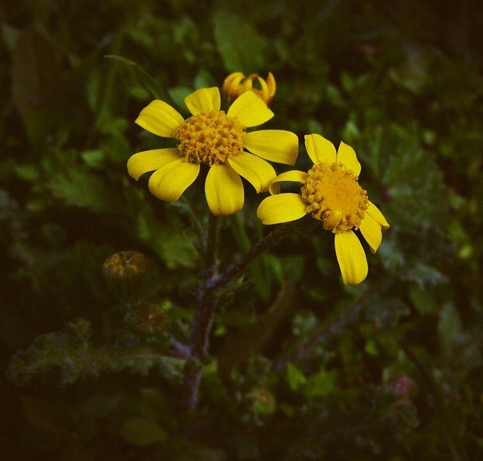 daisyyy by lisans