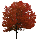 Maple Tree Png By Simfonic Tree Photoshop Picture Tree Tree Textures
