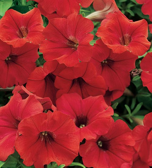 Surfinia Deep Red Petunia Hybrid Petunias Red Plants Plants