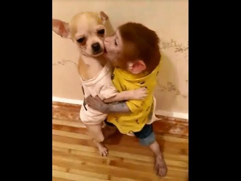 The Pocket Monkey Kissed The Dog That Makes The Dog Angry Things