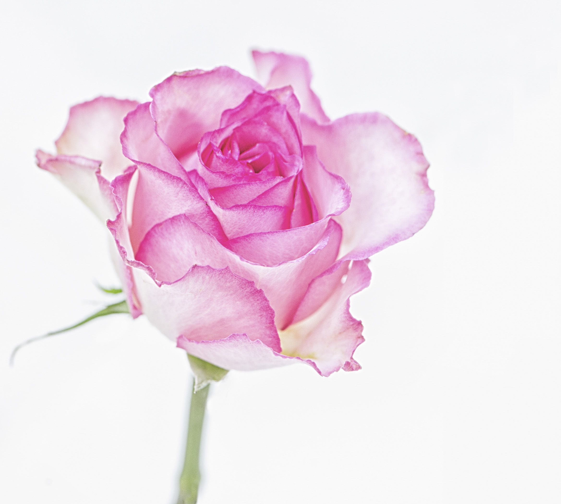 Pink Rose On White Background Copyright Nancy Kirkpatrick