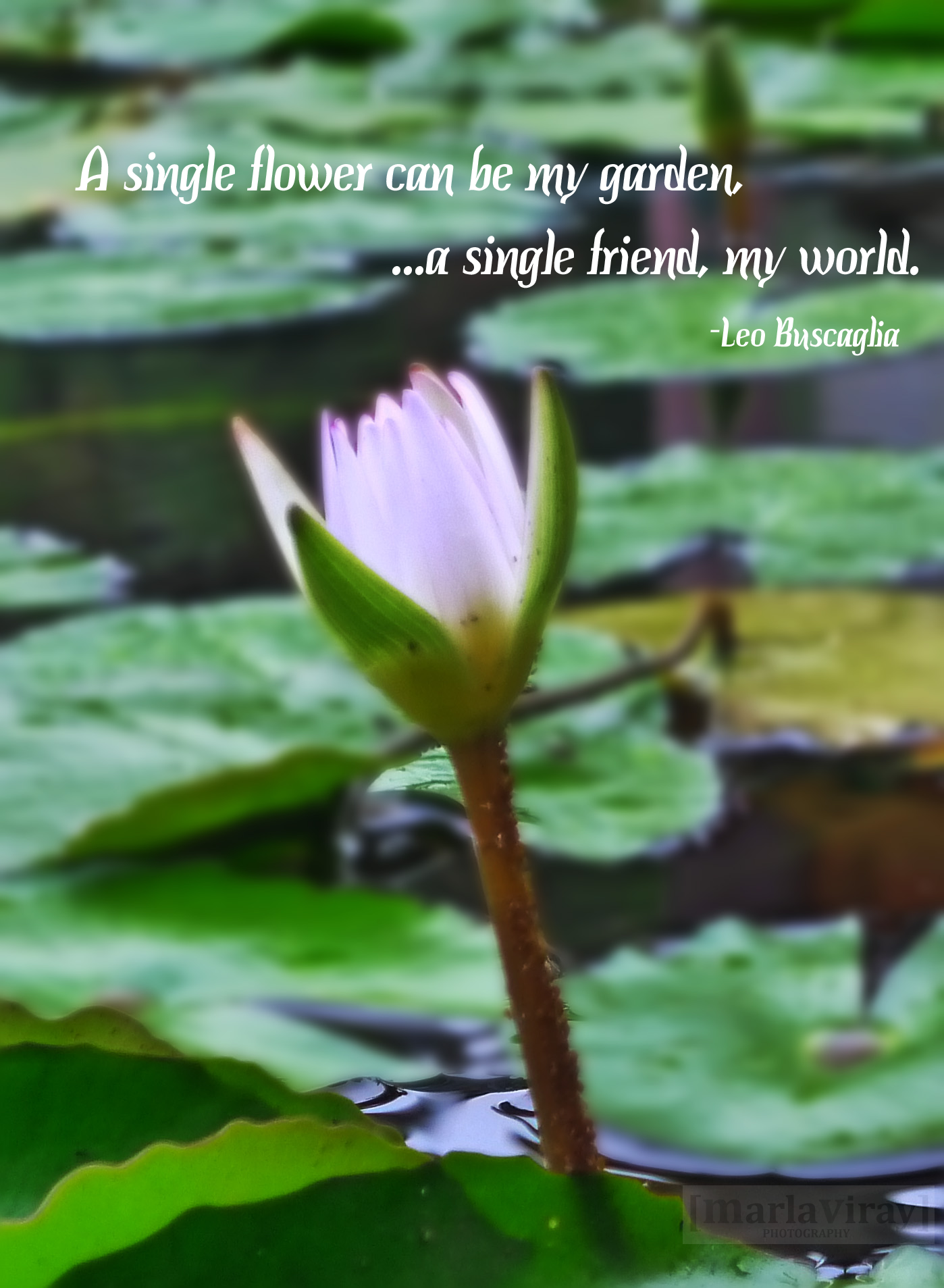 Flowers Flower quotes, Lily flower, Single flower