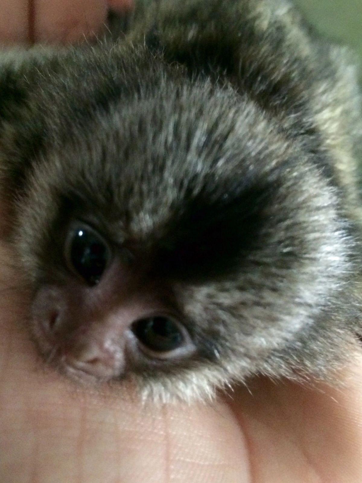 The Monkey Whisperer Baby Monkeys Baby Monkeys Finger Monkey In 2020 Finger Monkey Marmoset Monkey Cute Monkey