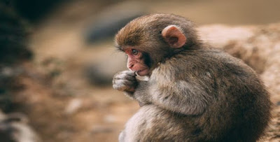 تفسير رؤية القرد في الحلم لابن سيرين والنابلسي In 2020 Cute Animal Photos Cute Animals Animal Photo