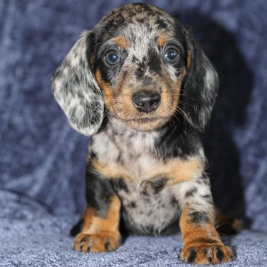 Oregon Dachshund Puppy Gallery Big Bad Doxies With Images