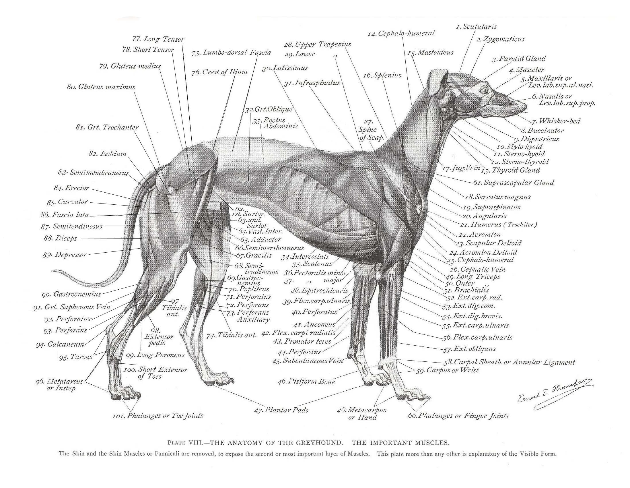 Greyhound Anatomy Diagram - The Muscles - click the link to get this ...