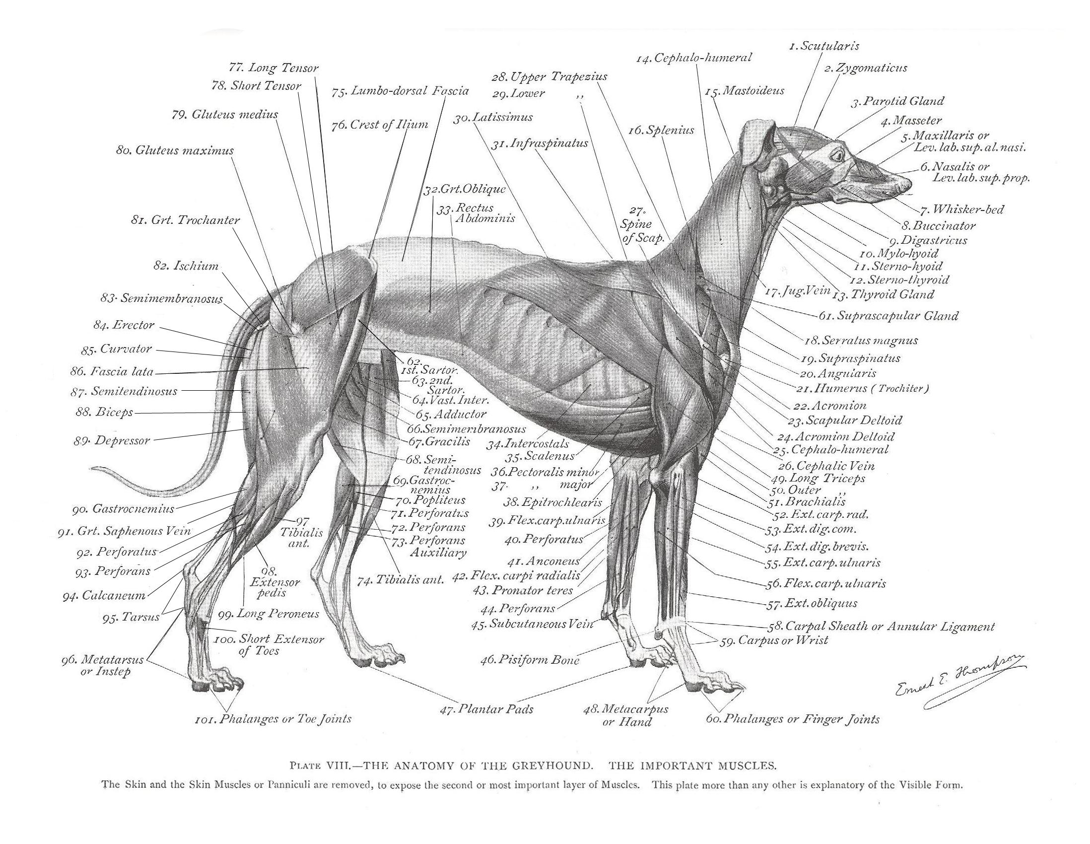 dog hind leg diagram suzuki eiger ignition wiring greyhound anatomy the muscles click link