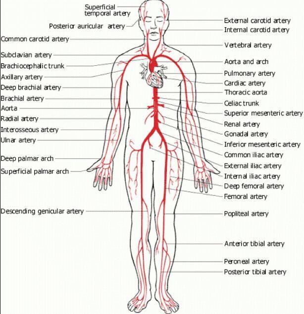 Human Body Artery Diagram In Detail