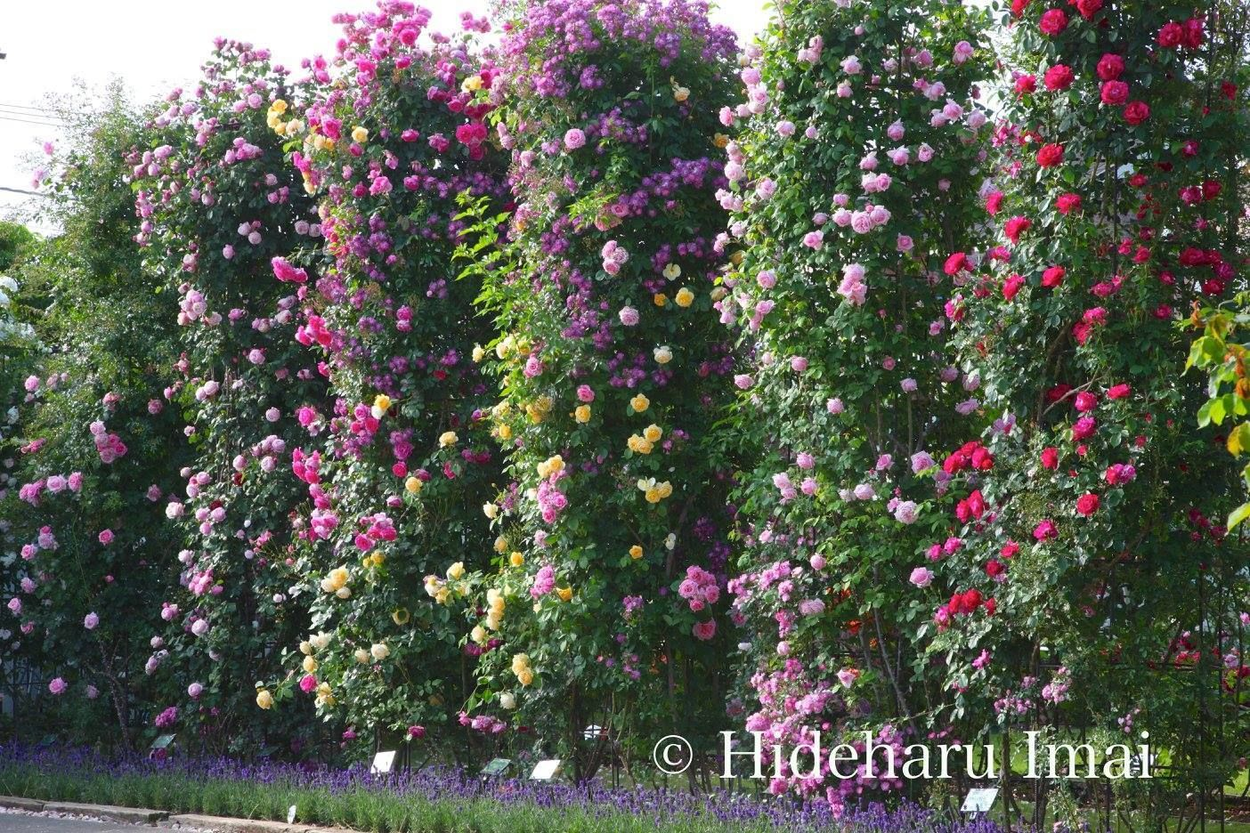 Diese opulenten Rosen Bilder von Fotografen Hideharu Imai