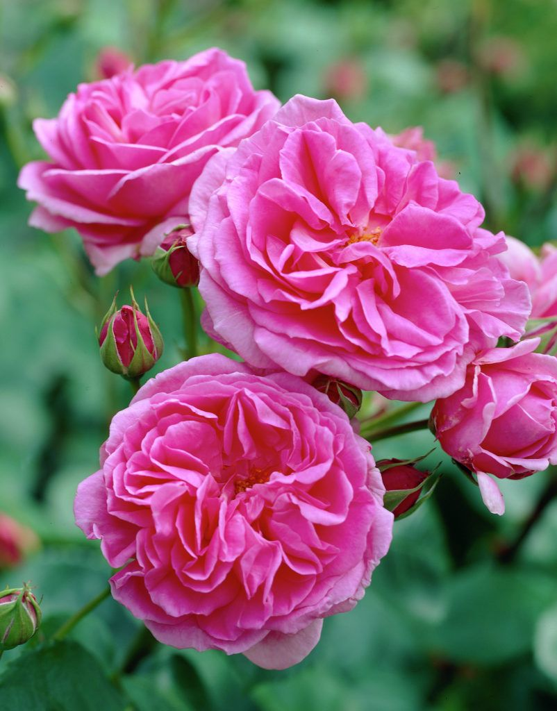 gertrude jekyll shrub english rose collection bred. Black Bedroom Furniture Sets. Home Design Ideas