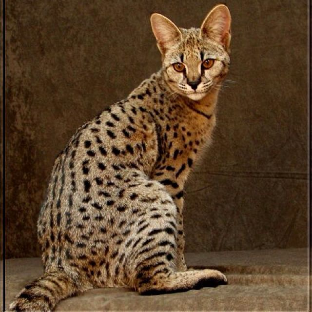So We Already Have An F4 Savannah Cat I M Trying To Convince The